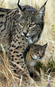 "Lynx Mother and Kitten ~ my favorite ""big cat"""
