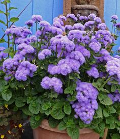 Ageratum houstonianum 'Blue Horizon'. EASY to  grow, it's always sending up bunches of new blooming stems, especially when  deadheaded. Plant with Nicotiana alata 'Lime Green' & Viola 'Etain' for a  super pretty vignette! Butterflies love it, makes a great cut flower & is  wonderful in a container! Rich, well drained soil. To 1.5' wide