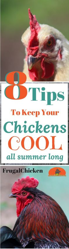 Chickens and heat don't mix well. Here's 8 tips to keep your hens cool so they don't get heat stroke when summer comes!