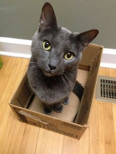 Sir Percy (my Russian Blue kitty)