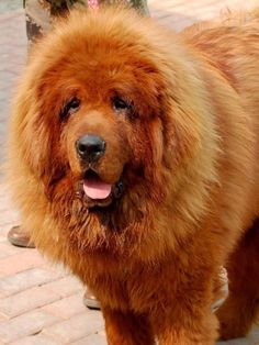 The £945,000 Red Tibetan mastiff and the Charolais bull sold for