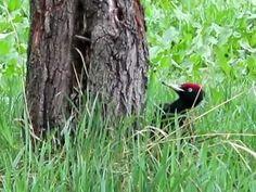 Fekete harkály - Black Woodpecker - (Dryocopus martius) Bird, Nature, Animals, Black, Animales, Animaux, Black People, Birds, The Great Outdoors