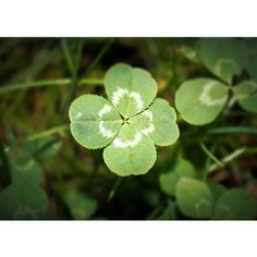 Four Leaf Clover 5x7 Photo Fine Art Photography ($15) ❤ liked on Polyvore featuring home, home decor, wall art, leaf wall art, photography wall art, leaves wall art, leaf home decor and photographic wall art