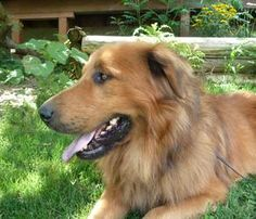 he looks very cute  Bear is an adoptable Leonberger Dog in Rigaud, QC. It took a family who were at their cottage two weeks to catch this very handsome Leonberger/Golden mix who was loose in the woods. He was then track...
