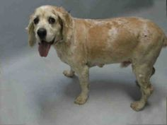 SAFE 3-16-2016 --- SUPER URGENT Brooklyn Center PATRICK – A1067390  NEUTERED MALE, TAN / WHITE, COCKER SPAN MIX, 12 yrs STRAY – STRAY WAIT, NO HOLD Reason STRAY Intake condition EXAM REQ Intake Date 03/11/2016