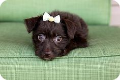 rat terrier poodle mix poodle boston terrier mix cuddles pinterest poodles 5823