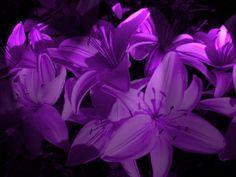 DA SURVIVOR -- Purple Lillies by Toejones.deviantart.com This color would be beautiful in a tat!