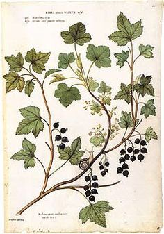Botanical Illustration is one of the oldest watercolor genres, associated throughout its history with the importance of plants to human health, recreation, and appreciation of beauty. Vintage Botanical Prints, Botanical Drawings, Botanical Art, Botanical Gardens, Nature Illustration, Floral Illustrations, Sibylla Merian, Vintage Drawing, Herbs