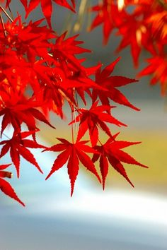 Japanese Red Maple. Not only do I desire one of these trees, this is also my favorite Hair color. :)
