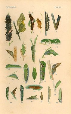 Larvae and Pupae Vintage Color Lithograph by CarambasVintage, $18.00