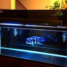 【boggy828sub】さんのInstagramをピンしています。 《メインの120cm水槽✨ フロントーサ(ブル)×3 セルフィンプレコ×1 #tropical #toropicalfish #aquarium #熱帯魚 #観賞魚 #熱帯魚水槽 #水槽 #アクアリウム #cyphotilapia #cyphotilapiafrontosa #frontosa #キフォティラピア #キフォティラピアフロントーサ #フロントーサ #シクリッド #アフリカンシクリッド #120cm水槽》