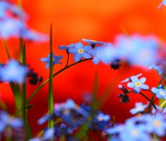 Blue flower Photo by Lena W. -- National Geographic Your Shot