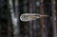 An Owl During Flight