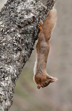 Red Squirrel ....show off.....