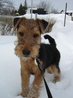 welsh terrier puppies - Google Search