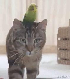 Cat & a parakeet going for a stroll?