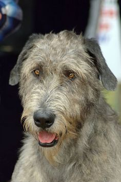 Irish Wolfhound photo | Irish Wolfhound | Essendon Vet Clinic