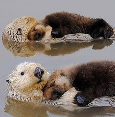 Sea Otter mums blow air into the fur on their babies to make them super fluffy & bouyant because baby sea otters cannot swim... When mum has to go catch food she will either leave the baby to float in calm water or sometimes tangle the baby in floating seaweed so it won't drift away. clever & doting mothers.