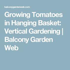 Growing Tomatoes in Hanging Basket: Vertical Gardening | Balcony Garden Web