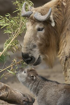 ☀Even though this one-week-old Sichuan takin isn't eating solid food, she's ready to learn,... she mimicked her mom chewing acacia. ~ by San Diego Zoo Global*