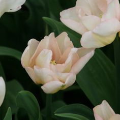 Tulipe Triomphe Rejoyce