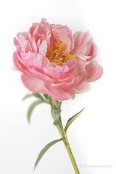 Coral Charm Peony by Georgianna Lane