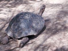 Die #Riesenschildkröte auf den #Galapagosinseln kann bis zu 200 Jahre alt werden.