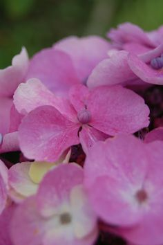 hortensia in my garden