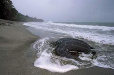 A tartaruga de couro encontrada tinha 400 kg mas pode chegar a 700kg.