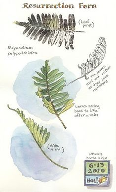 A Nature Art Journal in Southwest Florida: Resurrection fern, by Elizabeth Smith. Like the date box with temp & weather for that day. Botanical Drawings, Botanical Art, Botanical Illustration, Nature Sketch, Nature Drawing, Garden Journal, Nature Journal, Sketchbook Inspiration, Art Sketchbook