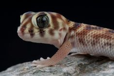 The wonder or frog-eyed gecko, Teratoscincus scincus, is found fro , Cute Reptiles, Reptiles And Amphibians, Baby Animals, Cute Animals, Funny Animals, Classroom Pets, Chameleon Lizard, Amazing Frog, Frog Eye