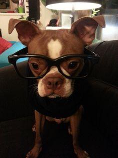 Boston Terrier In Hipster Glasses