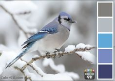 The beautiful colors of the blue jay on a quiet winter morning.  Find your color inspiration: Color911.com #color #app #Color911