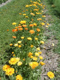 CALÈNDULA – Calendula officinalis – calèndula – Souci – Marigold