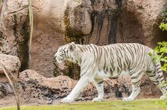 white tiger by Arnaufoto on Creative Market