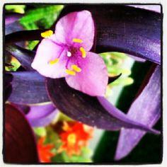 Setcreasea Purpurea