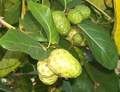 While noni fruit is a relatively small, potato-sized fruit, its health benefits are rather extensive. Noni fruit is known scientifically as Morinda citrifolia. It has a very distinctive taste and strong smell. It has been used for centuries in the Polynesian culture for healing purposes. Its medicinal and alternative therapies are now being researched by Western medicine to validate the health benefits of using... FULL ARTICLE…
