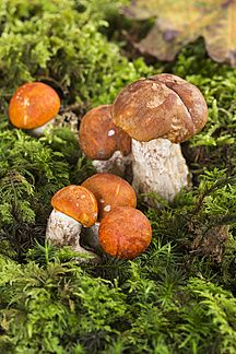 Espen-Rotkappe (Leccinum leucopodium), Birken-Rotkappe (Leccinum versipelle), auf Moos, Studio