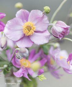 Windflower, Japanse Anemoon door Georgianna Lane