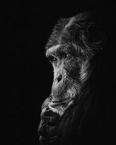 Mike & Co - Anja Wessels Photography Black Paper Drawing, Black And White Drawing, Wild Animals Photography, Wildlife Photography, Jungle Animals, Nature Animals, Wild Animals Photos, Primates, Wildlife Art