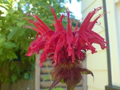 Squaw Bee Balm (Monarda) - Has a long history of use as a medicinal plant by many Native Americans. Used in poultices for skin infections and minor wounds. A tisane made from the plant was also used to treat mouth and throat infections caused by dental caries and gingivitis. Bee balm is a natural source of the antiseptic compound thymol, the primary active ingredient in some modern commercial mouthwash formulas. The plant tastes like a mix of spearmint and peppermint with oregano.