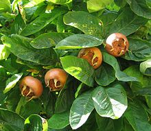Medlar fruits.  Cultivated for 3,000 years or more, they are almost the only fruits that become edible in winter.  Before frost they are much too bitter to eat.  The foliage and flowers are both fragrant of applesauce.