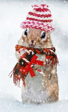 #christmas #squirrel #hat #scarf #Candycane