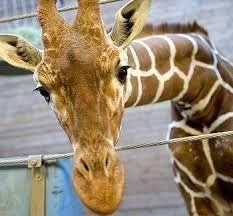 「giraffe laugh」の画像検索結果