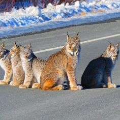 Wow! Don't see this every day! A family of lynx spotted on the Haines highway soaking up some sun! ☀️ Ever seen a lynx? #SharingAlaska by Melody Anne McKenzie