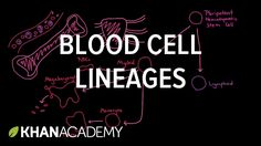 Blood cell lineages   Human anatomy and physiology   Health & Medicine  ...