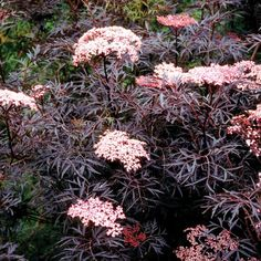 Black Lace Elderberry - Attracts birds & butterflies :) Zone: 4-7 Size: 6-8'H, 6-8'W Soil:Medium to wet, well drained soil. *Can grow in clay. Climate: Full sun to light shade. Blooms: June to July & flowers are lemon scented.