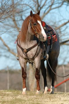 Bet On Me 498 (Smart Little Lena x Bet Yer Blue Boons) 1998 14.3h Red Roan AQHA Stallion