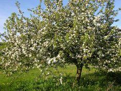 l'arbre - le pommier arbres en fleur