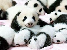 Baby Pandas = cuteness overload!